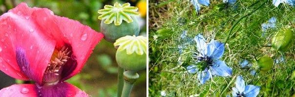 poppy nigella seed heads