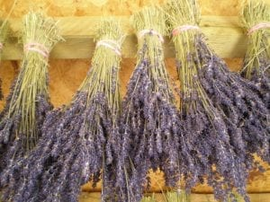lavender bunches drying