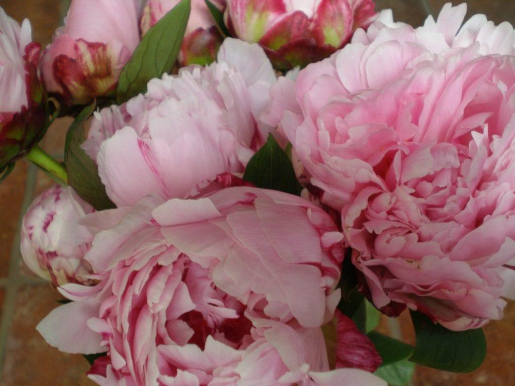 British flowers | peonies in full bloom