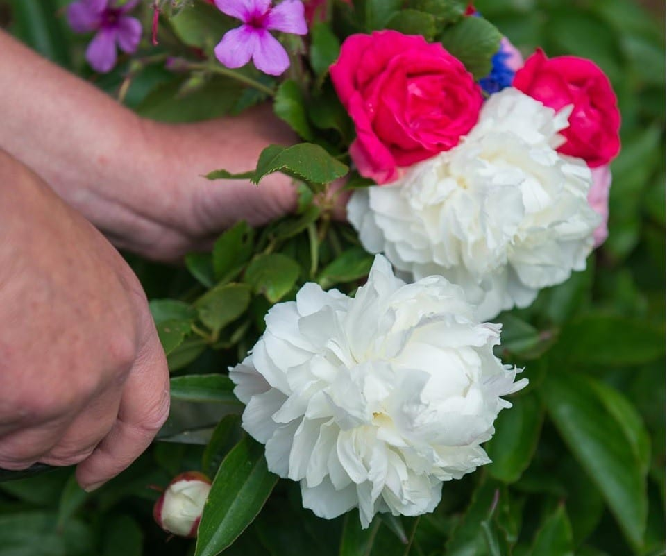 picking English peonies for a bouquet