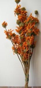 orange dried flowers leonotis leonorus bunch