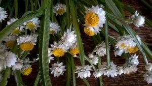 ammobium flowers