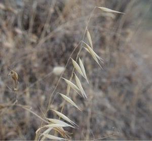 wild oats wild flowers dried flowers