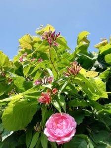 rose honeysuckle