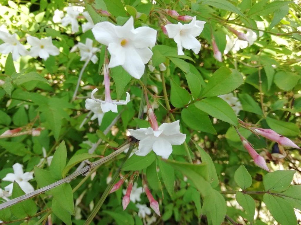 growing white jasmine flowers