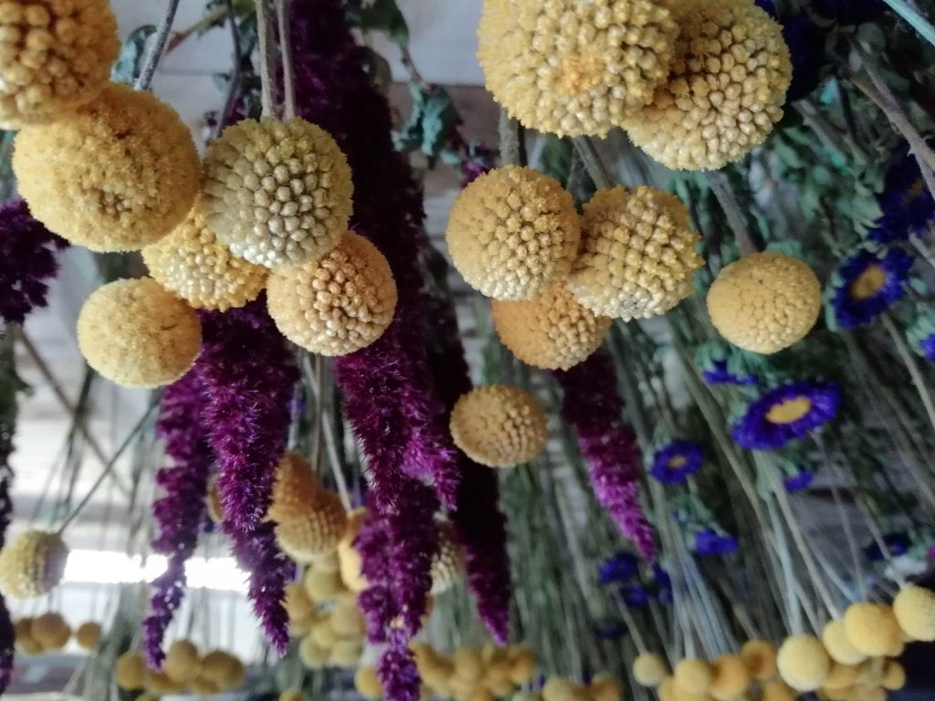drying billy buttons
