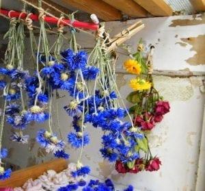 drying cornflowers