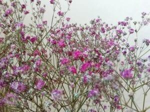dried pink gypsophila