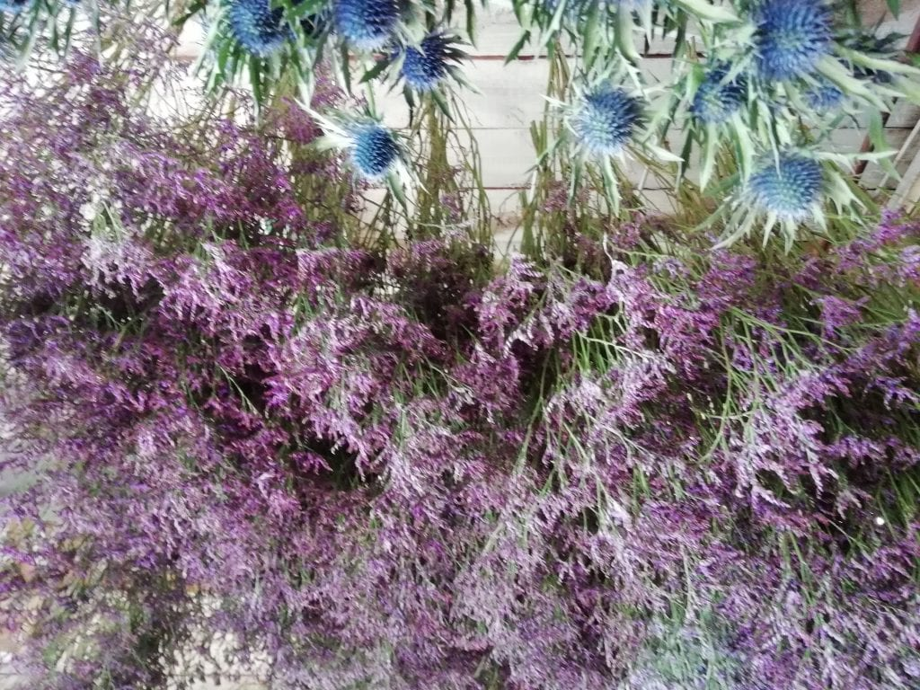 drying eryngium flowers