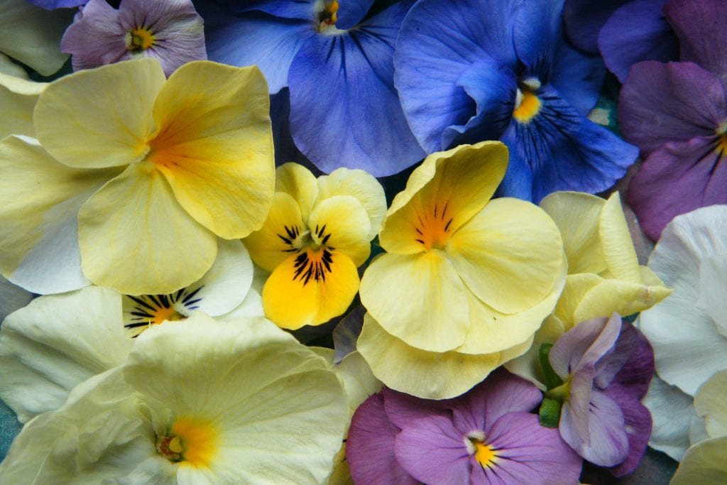 violas ready to become dried flowers
