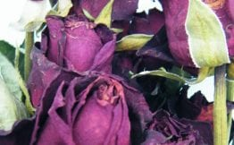 dried roses valentine