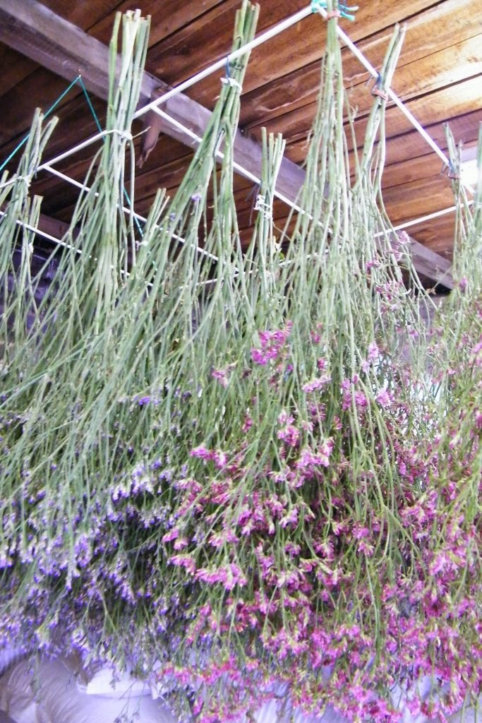 drying sea lavender