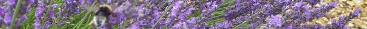 dried flowers lavender bee