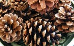 pine cones bowl