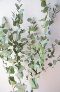 dried eucalyptus cinerea bunch