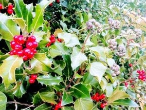 holly ivy christmas foliage