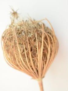 ammi seed head