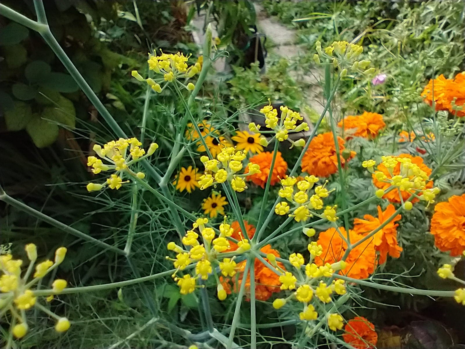 fennel flowers yellow umbels
