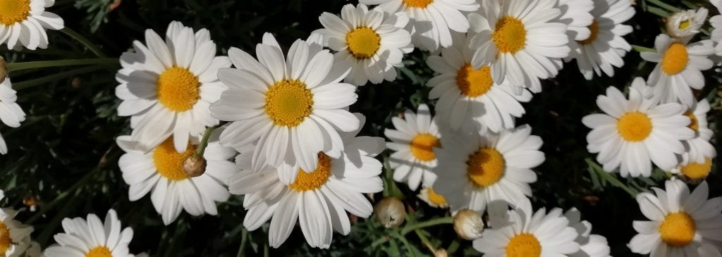 cheerful daisy flower