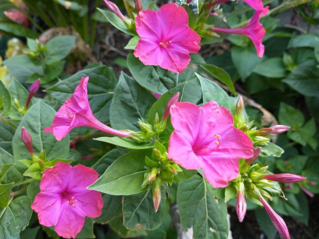 mirabilis flowers