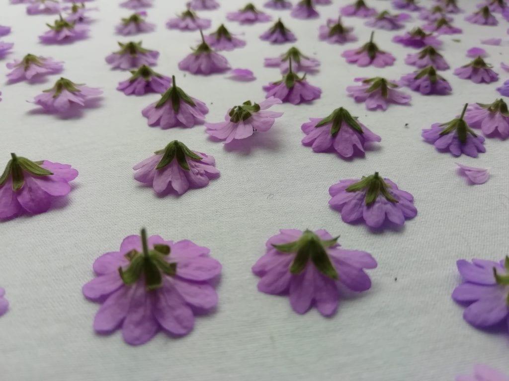 pink geranium in flower press
