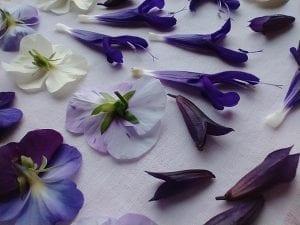 viola salvia flower press