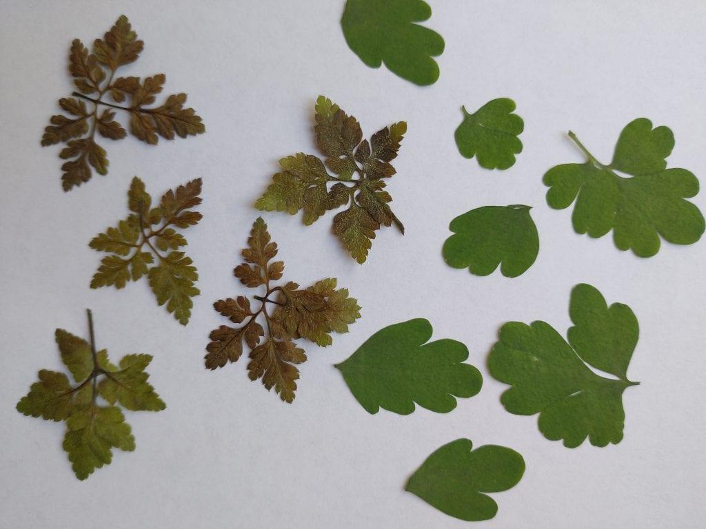 pressed herb robert leaves corydalis