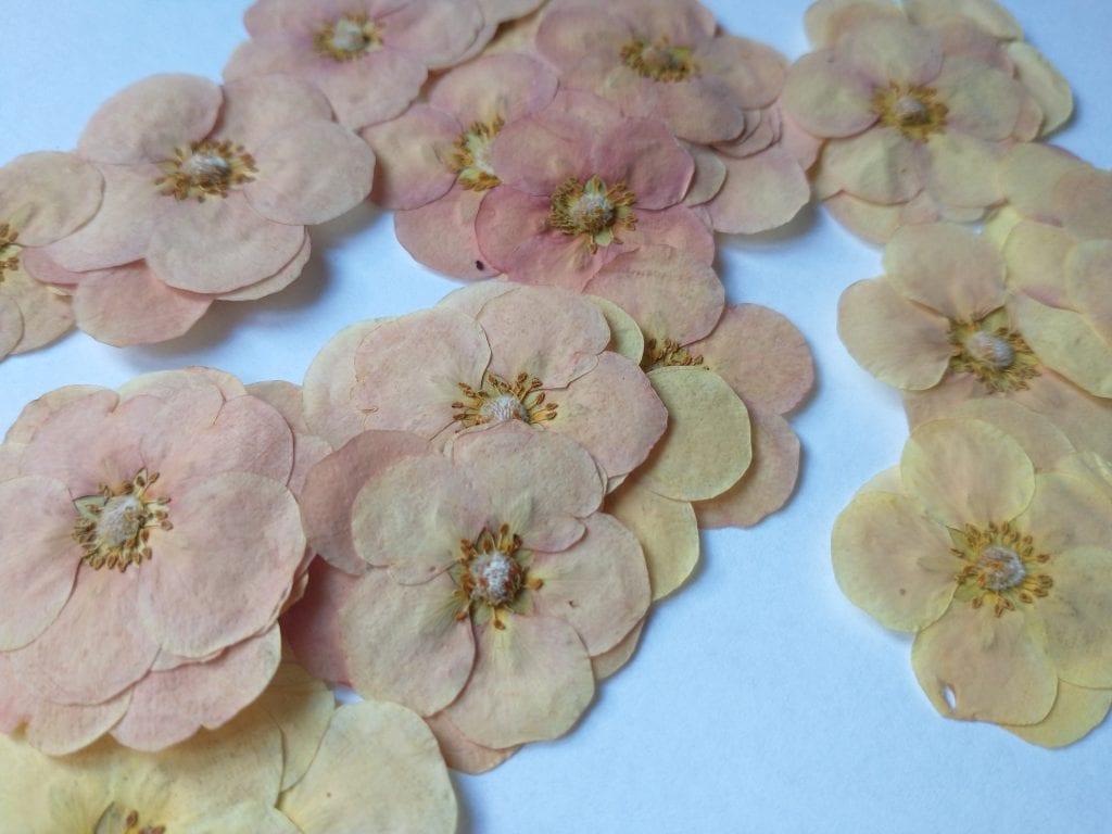 pressed potentilla flowers daisyshop