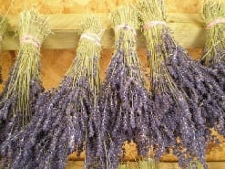 drying lavender bunches